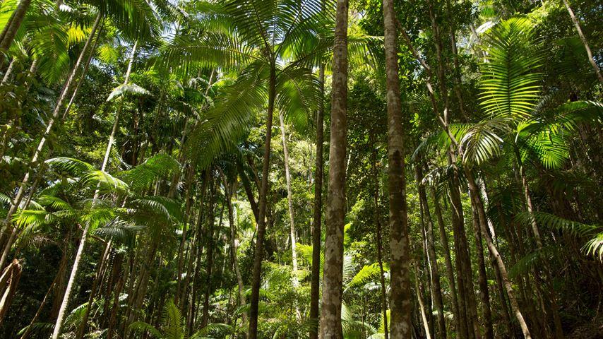 Bomen met felgroene kleuren in een regenwoud op Fraser Island. De blauwe lucht is net te zien door de bomen.