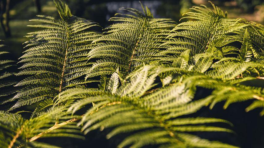 Felgroene bladeren met onscherpe struiken op de achtergrond in Parque Terra Nostra op São Miguel, een Azoors eiland.