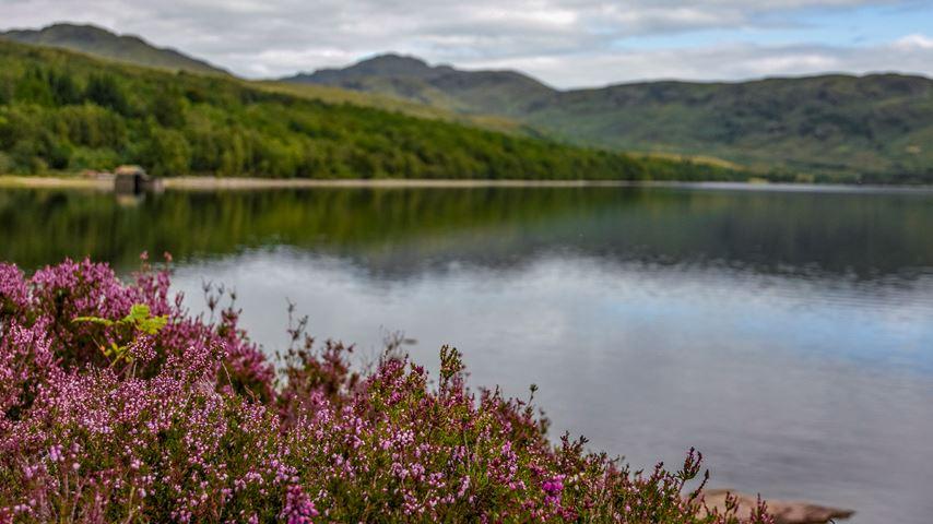 Loch Katrine, Schotland. Op de voorgrond paarse bloemen. Erachter het meer Loch Katrine. Op de achtergrond groene heuvels.