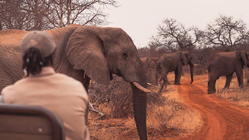 Krugerpark, Zuid-Afrika. Olifanten steken in de verte een rode zandweg over. Op de voorgrond is alleen de kop van een olifant zichtbaar.