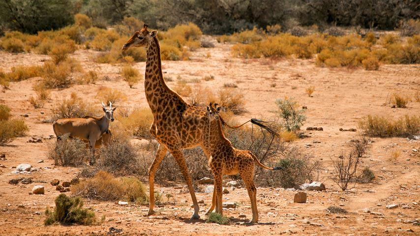 Shamwari, Zuid-Afrika. Een volwassen giraffe met kalf. Op de achtergrond een savanne.