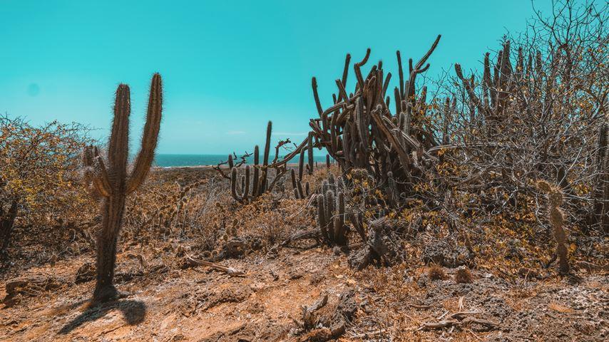 Grote cactussen in een woestijn buiten Willemstad op Curaçao. Blauwe lucht en een glimp van de zee op de achtergrond.