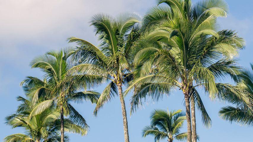 Meerdere palmbomen op het Hawaïaanse eiland Kauia. De lucht achter de palmbomen is blauw